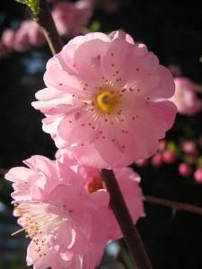 Mandelbaumblüte ® Blumenia / pixelio.de